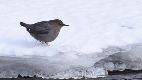 These birds are known to walk underwater and are perfectly fine with icy cold streams