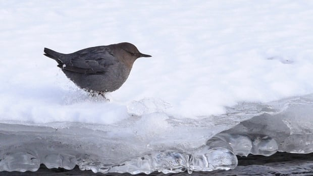 These birds are known to 'walk underwater' and are perfectly fine with icy cold streams