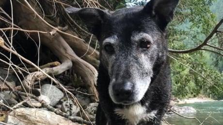Sheba 16-year-old Labrador pitbull mix Sherri Storoshenko
