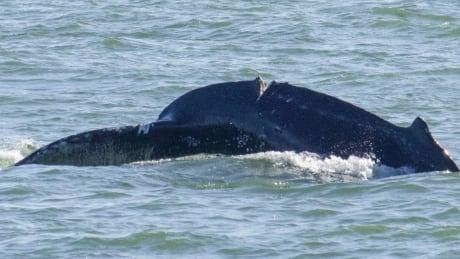Injured humpback whale