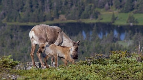 Mother and calf