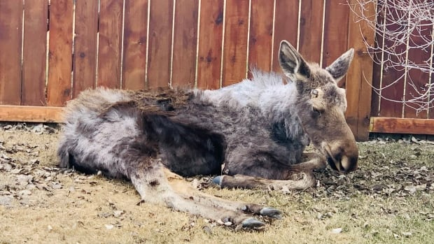 Calgary woman desperate to help 2 sick moose wandering her neighbourhood | CBC News