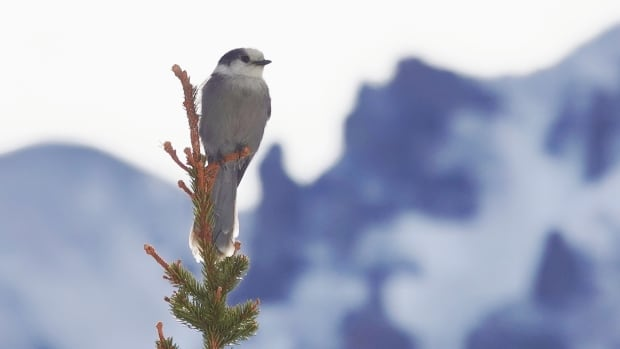 Why the Canada jay's friendly begging for food is an evolutionary winter survival tactic