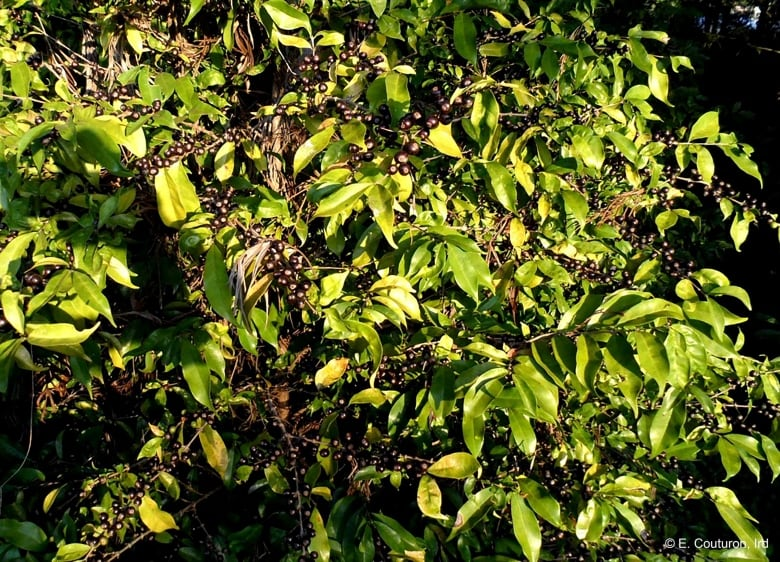 Scientists rediscover lost coffee species suited to a warmer climate
