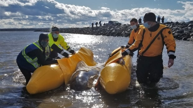 Baby pilot whale dies at Halifax-area beach despite efforts of rescuers | CBC News