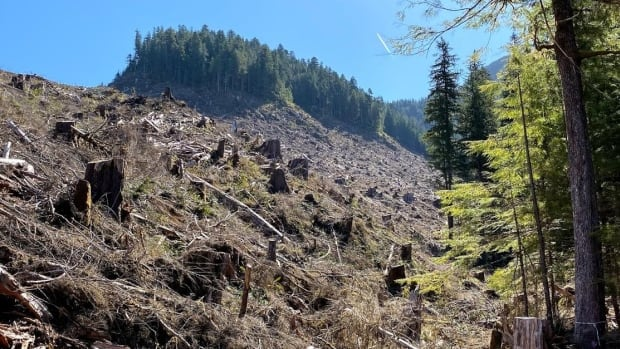 Old-growth logging approvals nearly doubled over the past year, report suggests