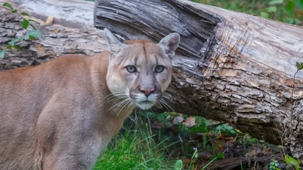 Cougar believed to be responsible for B.C. attack killed, says conservation service