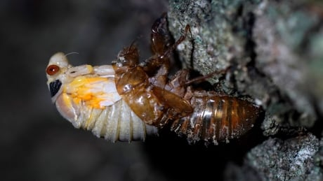Trillions of cicadas set to emerge after 17 years underground