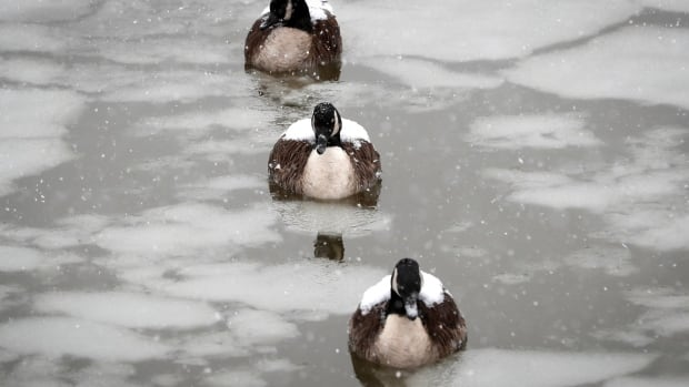 Bye, bye, birdie rule: U.S. quashes Trump environmental weakening that angered Canada | CBC News