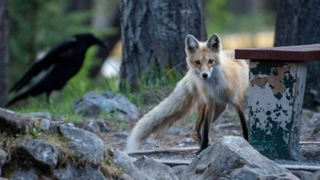 These foxes have shut down an area of Lake Minnewanka to have pups