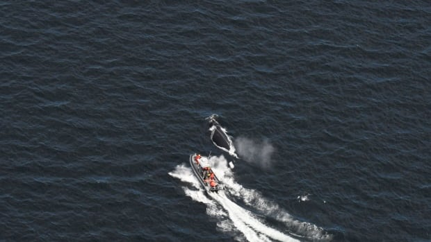 Rescuers hope to resume efforts to disentangle right whale found near N.B.