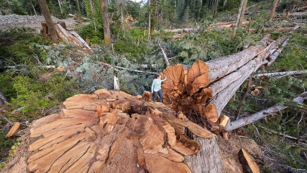 Investigation finds biodiversity of old growth forests at risk in Port Alberni