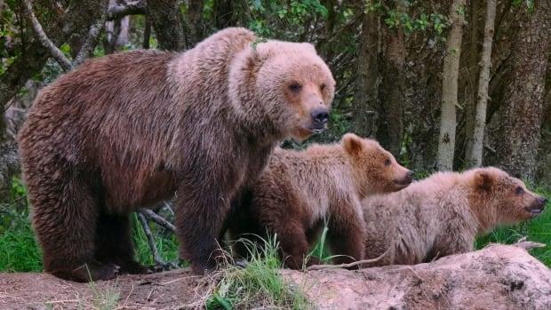 Alberta hiker, hunter mauled in separate bear attacks hours apart