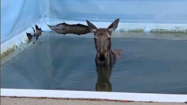 'Several bangs and a bunch of splashing': Moose jumps into backyard pool   CBC News