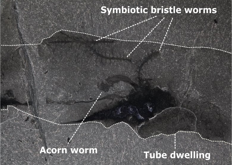 Phallic worm shared its home with bristly squatters in ancient symbiosis