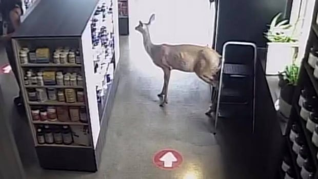 'Most interesting day at work': Deer browses around Thunder Bay store