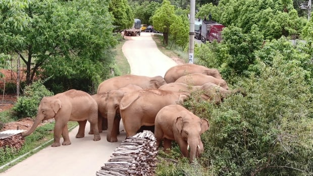 A herd of elephants in southwest China has been on a year-long journey to nowhere, wreaking havoc, capturing hearts and confounding scientists along t