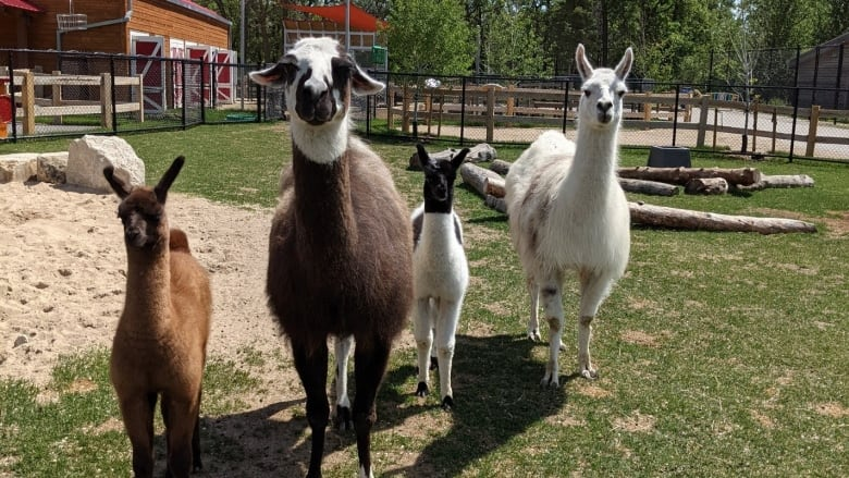 https://i.cbc.ca/1.6062299.1623427155!/fileImage/httpImage/image.jpg_gen/derivatives/16x9_780/aunt-sally-s-farm-assiniboine-park-zoo-llamas.jpg