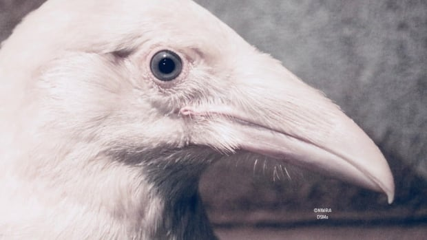 Rare blue-eyed, white raven fights for survival in Vancouver Island wildlife recovery centre