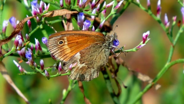 Saving one of New Brunswick's most endangered species: the Maritime ringlet