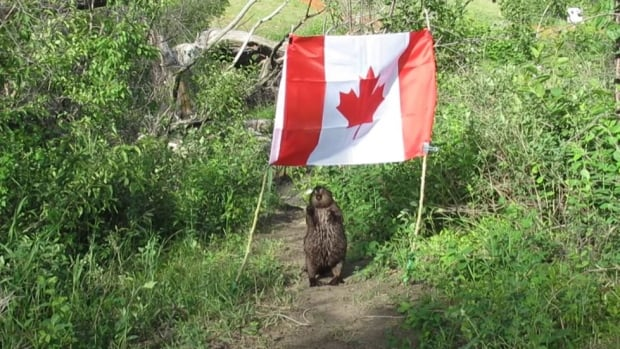 Saskatoon beaver steals Canadian flag, makes dinner out of flag pole