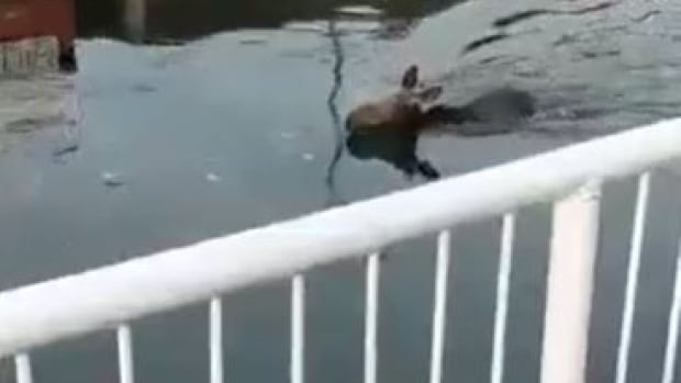 Moose dies swimming in northern Ontario river despite government rescue efforts