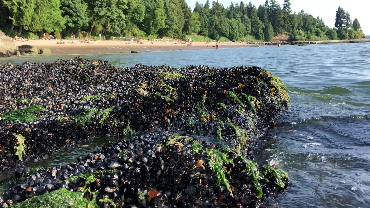 More than a billion seashore animals may have cooked to death in B.C. heat  wave, says UBC researcher | CBC News