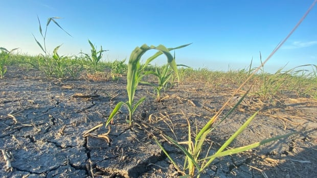 Manitoba municipality declares state of agricultural disaster due to drought, record-breaking heat