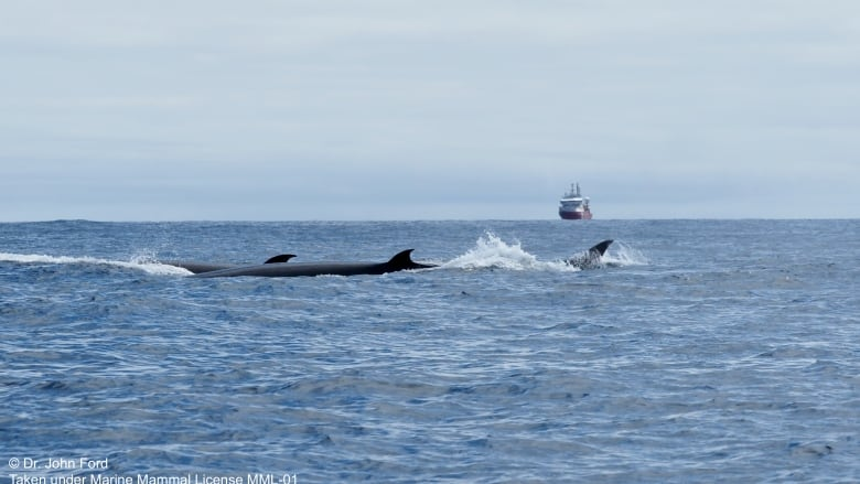 https://i.cbc.ca/1.6099776.1626126869!/fileImage/httpImage/image.jpg_gen/derivatives/16x9_780/sei-whales-bc-coast.jpg