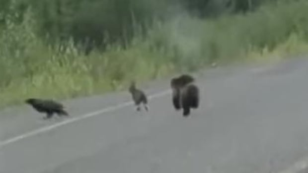 Rabbit, run! Wolverine and raven tag team on a wild chase