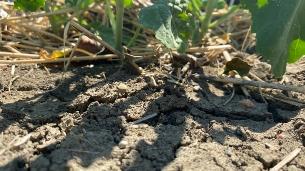 Broiling temperatures continue to damage crops in Saskatchewan