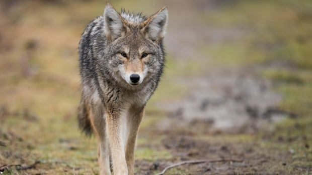 Coyote sightings, fatal dog attacks up in Toronto this year