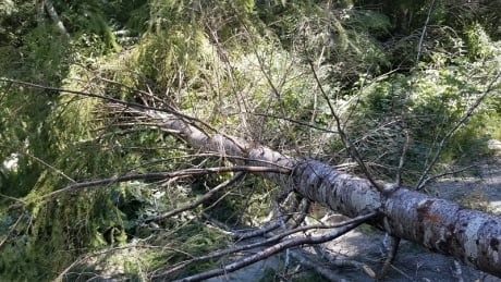 Fairy Creek watershed old growth protests RCMP allege tree cutting
