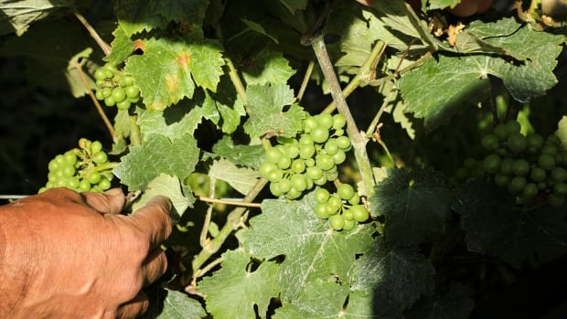 Heavy rains pose problems for France's champagne producers