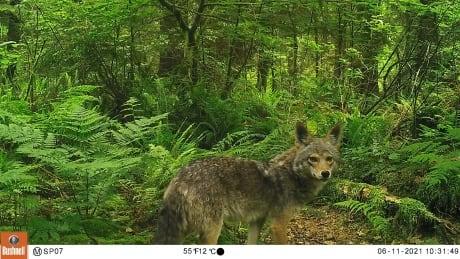 Stanley Park coyote UBC cameras