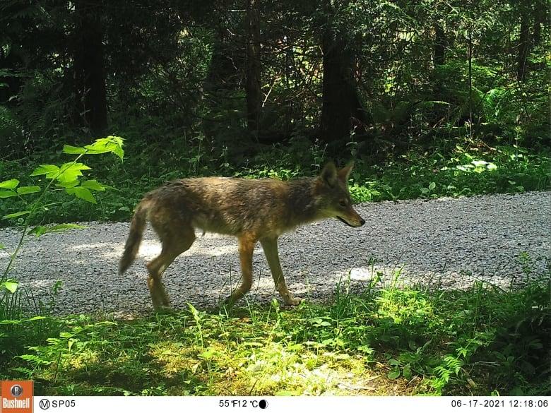 stanley park coyote ubc motion sensor camera june 2021