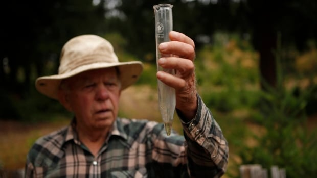 Intense heat has singed prized Christmas trees and killed seedlings, B.C. growers say   CBC News