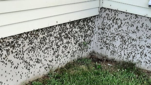 'Like popping popcorn': Grasshoppers swarm town in Quebec's Mauricie region
