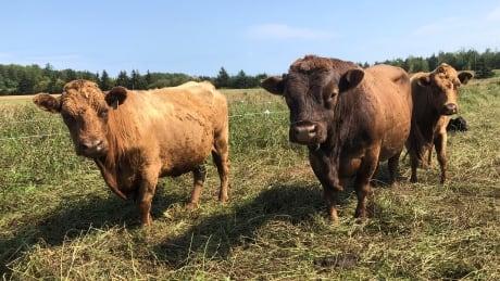 Cattle on Bernard farm