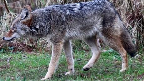 Bernie Steininger Stanley Park coyote Good Friday 2021