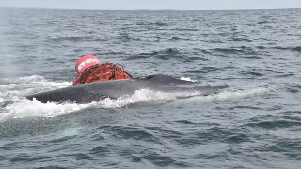 Fin whale entangled near Grand Manan last week presumed dead, rescuer says | CBC News