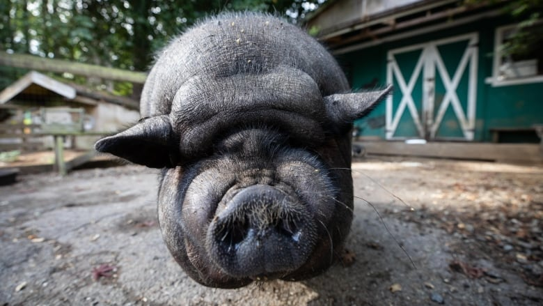 Pet 'mini-pigs' are outgrowing owners' expectations — and sanctuaries are  running out of space to re-home them | CBC News
