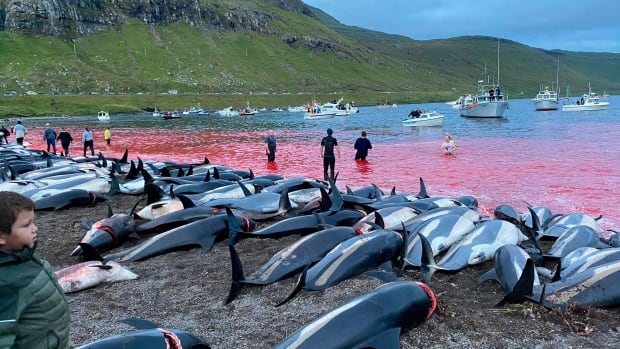 1,428 dolphins killed on Faroe Islands in traditional hunt