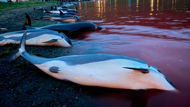 Faroe Islands will review regulations after record dolphin slaughter