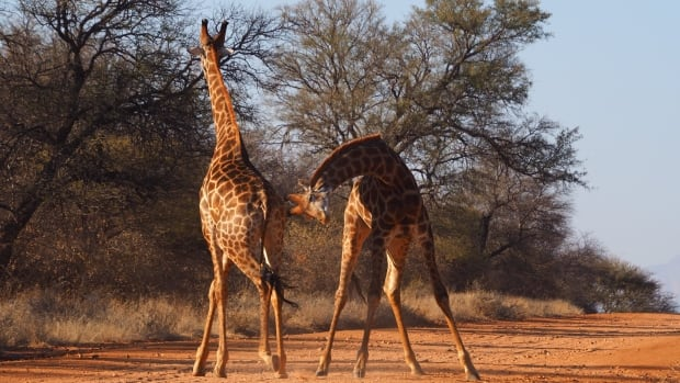 Neck-to-neck combat: Giraffes fight fair when they spar, researchers find