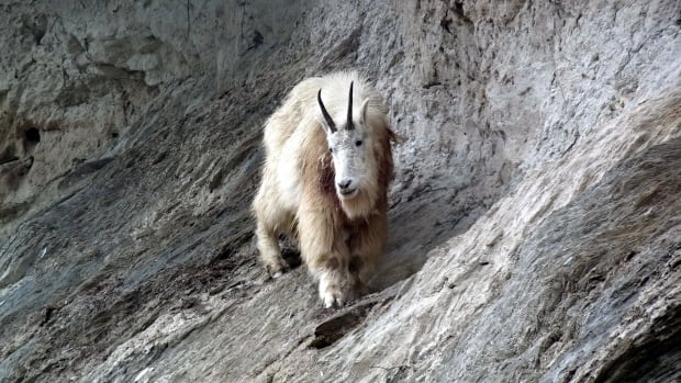 Mountain goat 'turned the tables,' killed grizzly bear in Yoho National Park