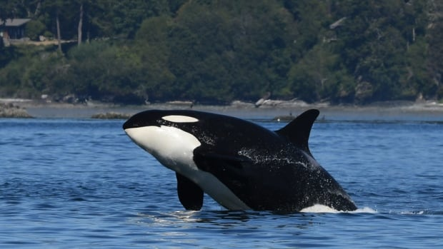 Apparent death of 47-year-old orca matriarch could have serious effects on pod, scientists fear