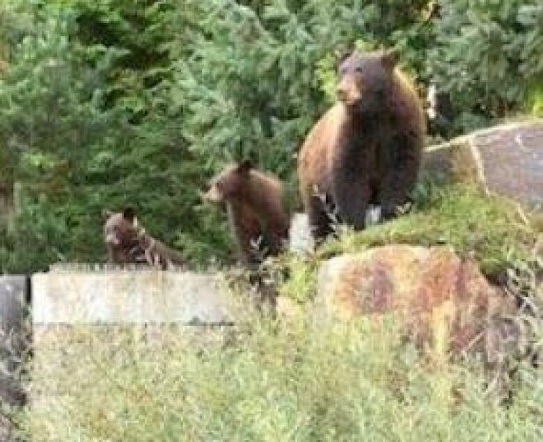 whistler bears 2