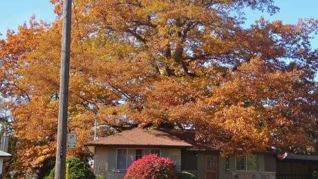 250-year-old red oak tree
