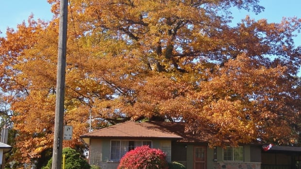 Owner of Toronto property with 250-year-old oak must sell to city at agreed price, judge rules